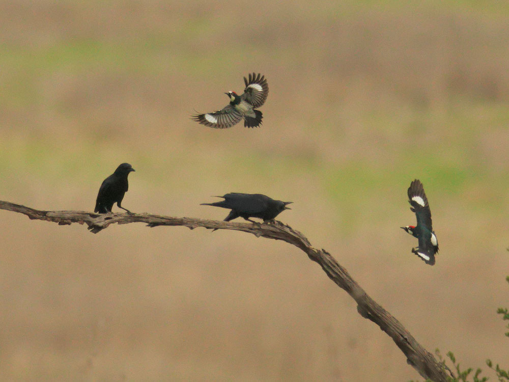 Acorn Woodpeckers and American Crows