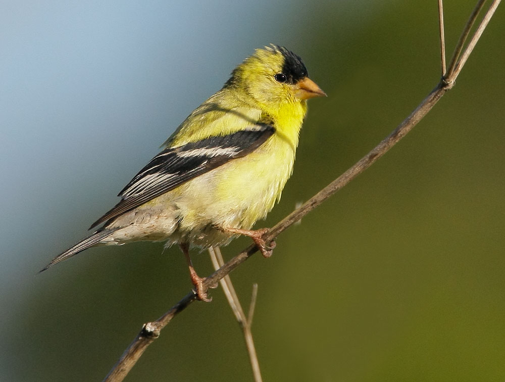 American Goldfinch, breeding plumage male, Half Moon Bay, San Mateo Co