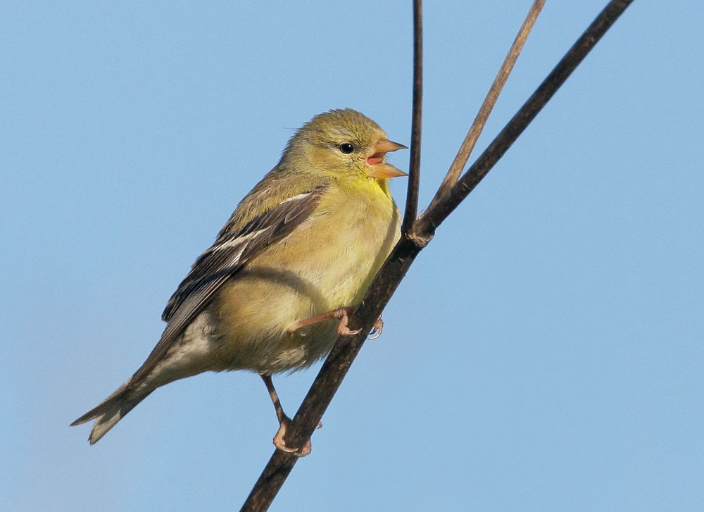 American Goldfinch, breeding plumage female, Half Moon Bay, San Mateo Co