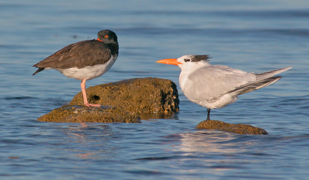 American Oystercatcher and Royal Tern