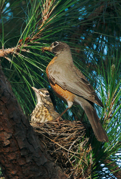 American Robin, adult and nestling at nest, 7/7/05, my yard, Stanford campus