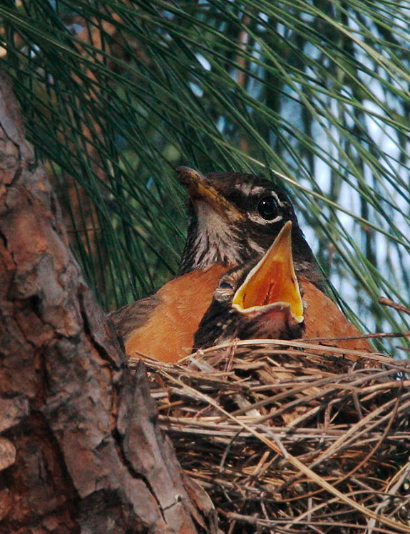 American Robin, adult and nestling, 7/7/05, my yard, Stanford campus