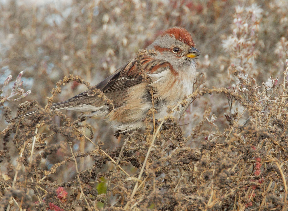 American Tree Sparrow, 12/6/10, Radio Road, Redwood Shores, San Mateo Co