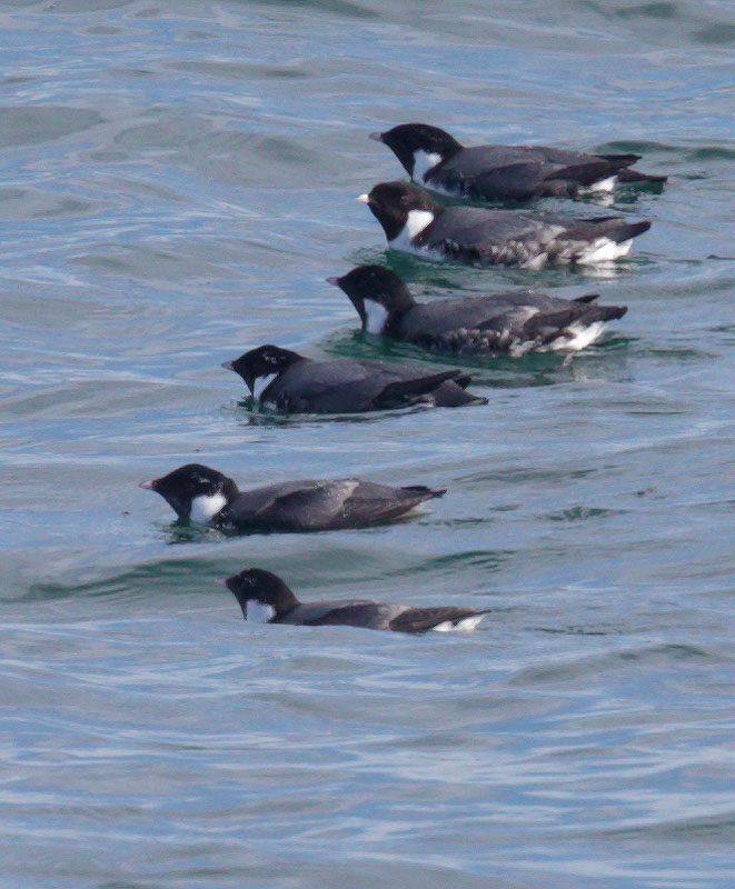 Ancient Murrelets