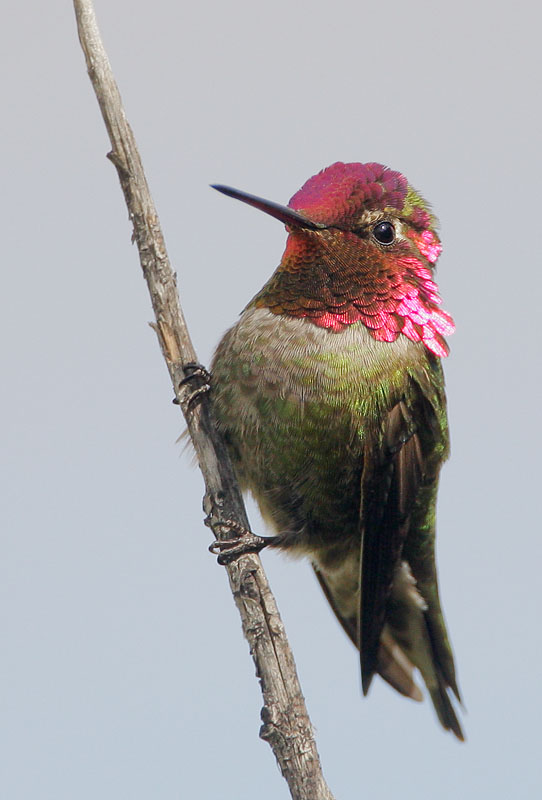 Anna's Hummingbird, male, 3/14/08, Palo Alto Baylands