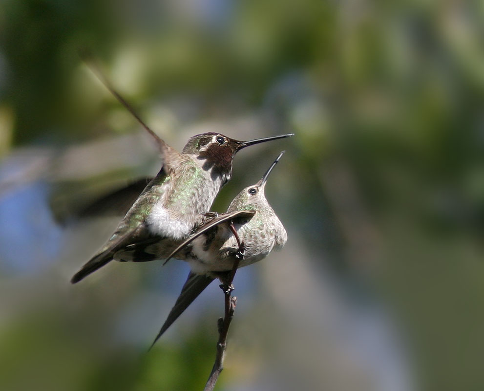 Anna's Hummingbirds, pair mating, 2/8/04, Stanford campus