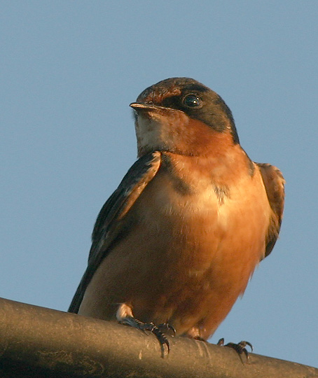 Barn Swallow, adult male, 9/2/04, Palo Alto Baylands