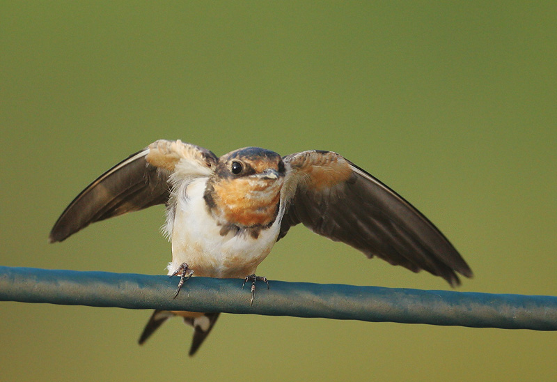 Barn Swallow, juvenile, 7/13/06, Palo Alto Baylands