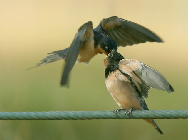 Barn Swallows, adult feeding young, 7/0/04, Palo Alto Baylands