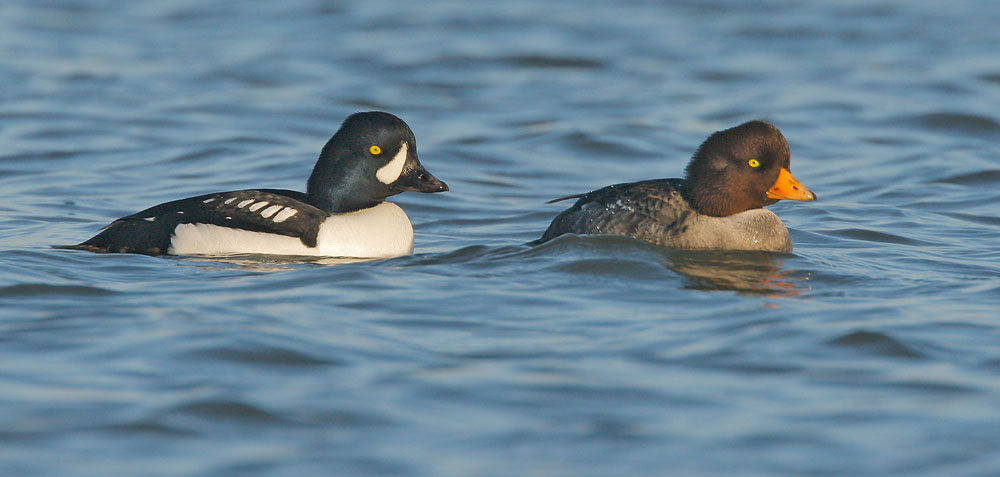 Barrow's Goldeneye, pair, 12/27/06, Shoreline Lake, Mountain View