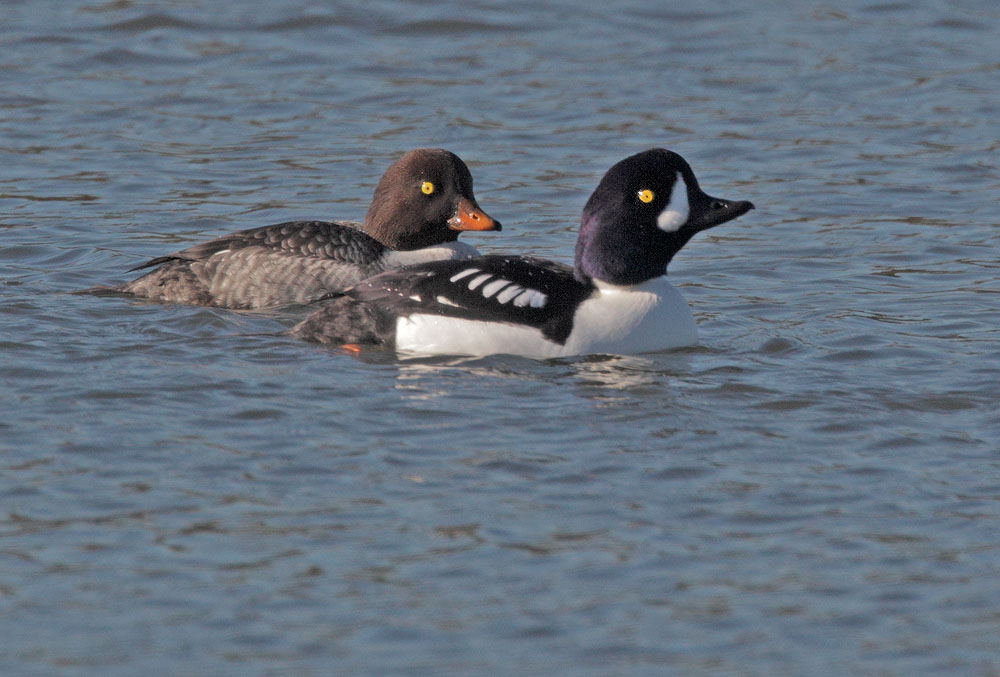 Barrow's Goldeneye, pair, 11/24/10, Shoreline Lake, Mountain View