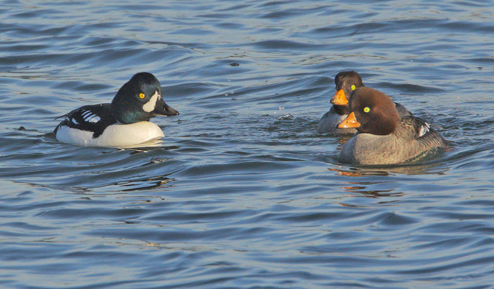 Barrow's Goldeneye, male and two females, 1/3/09, Shoreline Lake, Mountain View