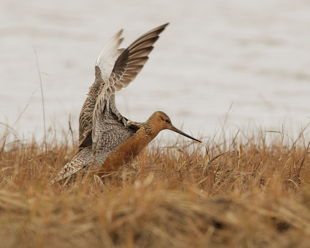 Bar-tailed Godwit,
