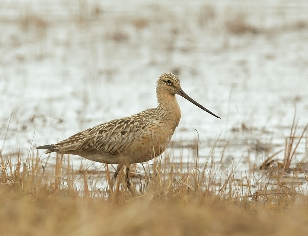 Bar-tailed Godwit, female, 5/30/11,