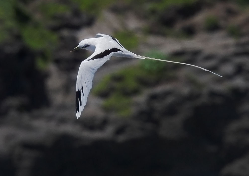 White-tailed Tropicbird, 6/27/08, Kilauea Lighthouse, Kauai, HI