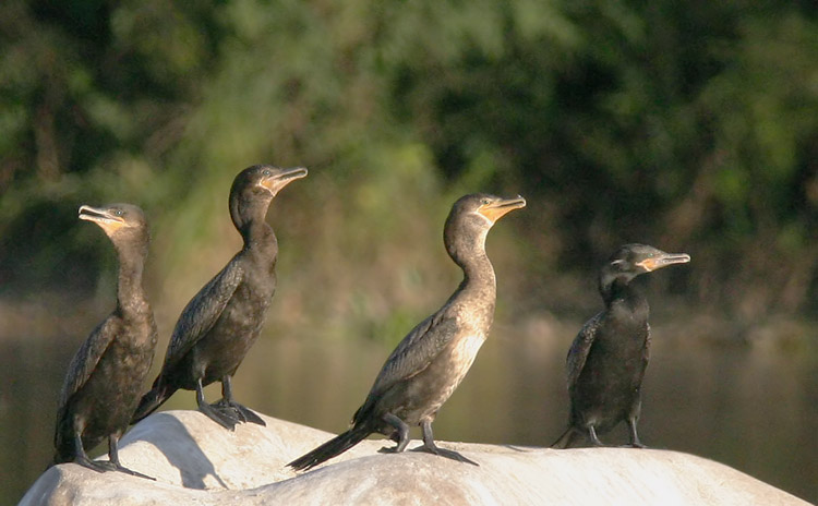Neotropic Cormorants, 3 first winter, one adult, 1/11/05, El Fuerte River, Sinaloa, Mexico