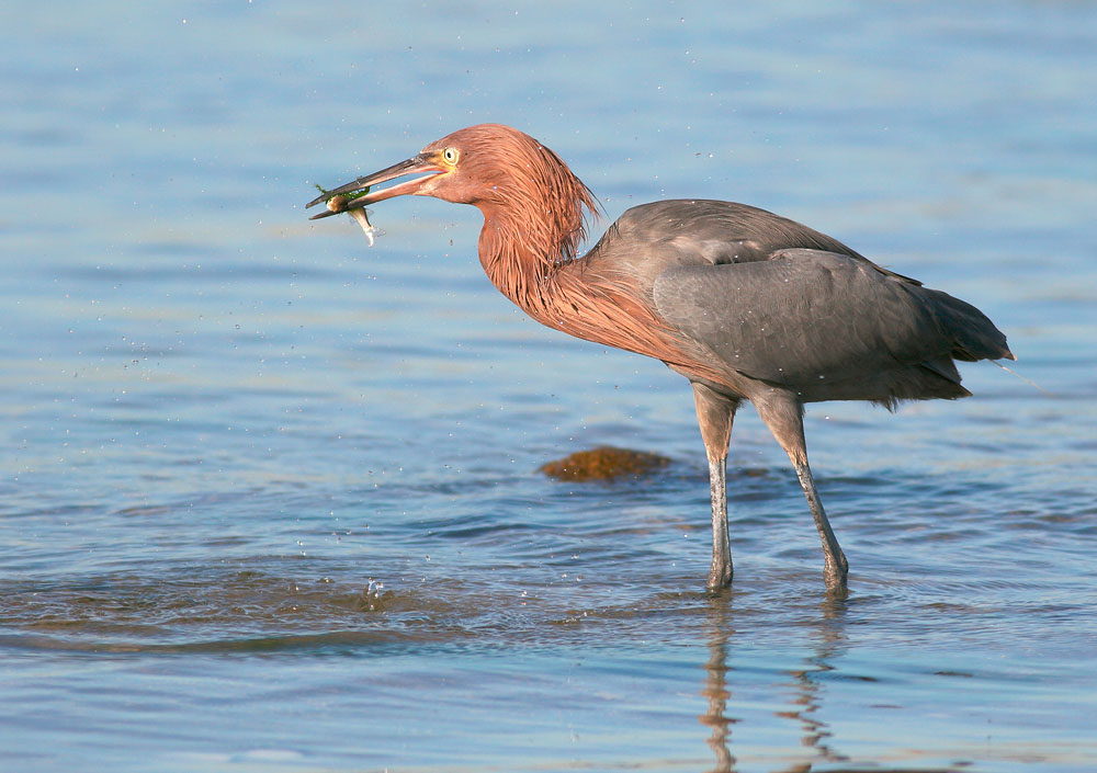 Reddish Egret, winter, 12/22/05, La Paz, BCS, Mexico