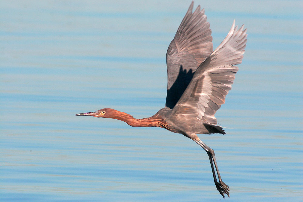 Reddish Egret, winter, 12/23/05, La Paz, BCS, Mexico
