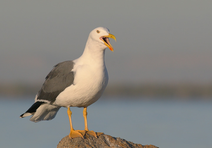 Yellow-footed Gull, 12/22/05, Malecon, La Paz, BCS