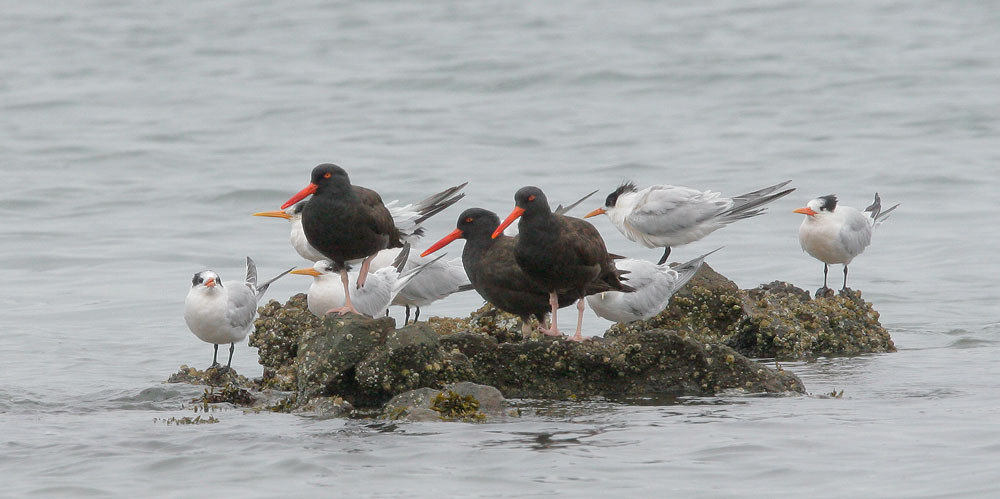 Black Oystercatchers with Elegant Terns