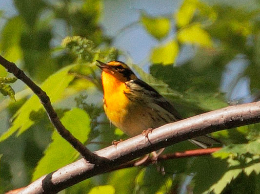 Blackburnian Warbler, singing male, 5/20/10, Magee Marsh, OH