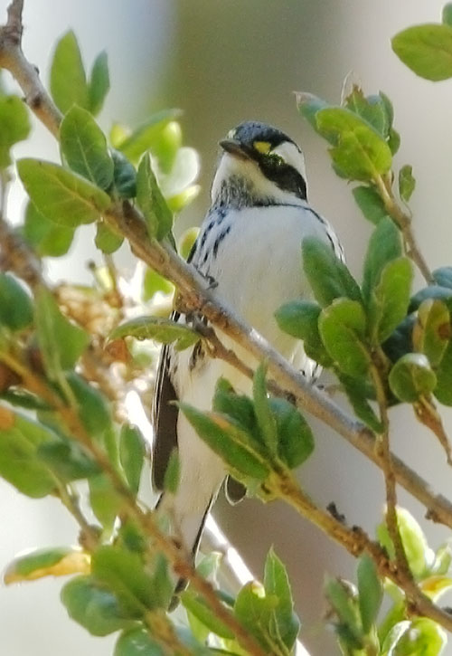 Black-throated Gray Warbler,