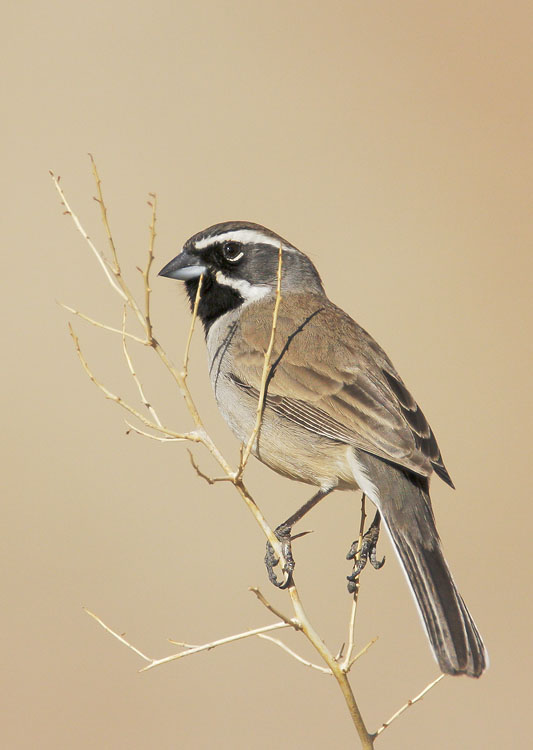 Black-throated Sparrow, 1/16/08, Palm Canyon, Anza Borrego Park, San Diego Co