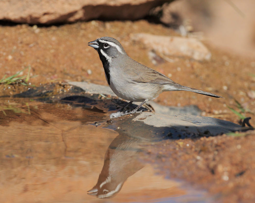 Black-throated Sparrow, 4/18/09, Pond at Elephant Head, Chino Canyon, AZ