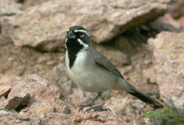 Black-throated Sparrow, 1/9/05, Isla San Francisco, Baja California Sur, Mexico