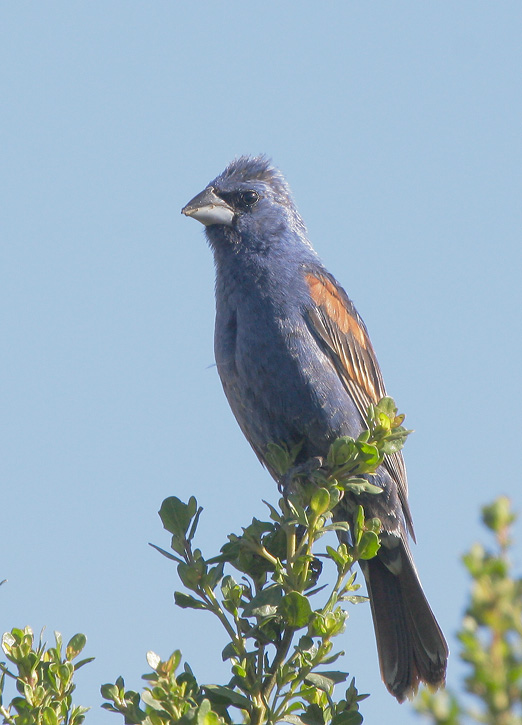 Blue Grosbeak, male, 7/20/07, Pajaro River at 101