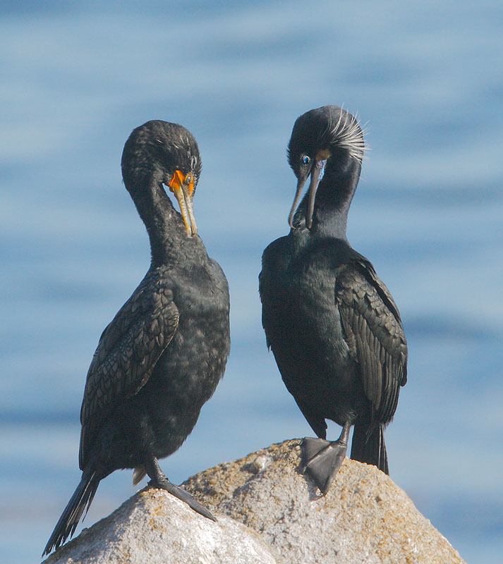 Brandt's Cormorant with Double-crested Cormorant