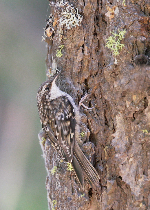 Brown Creeper, 6/29/07, Plumas-Eureka State Park, Plumas Co