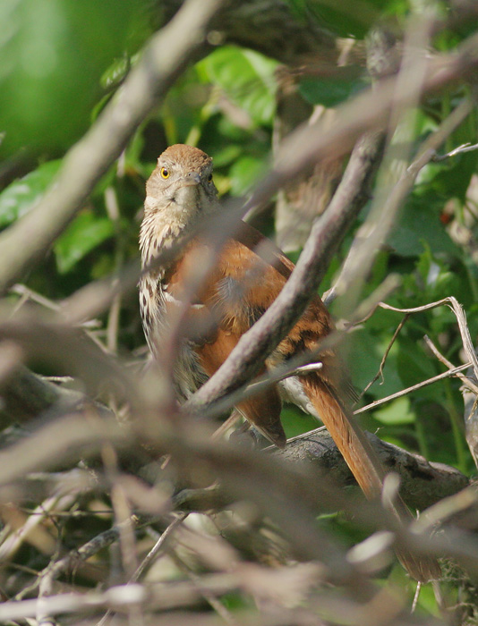 Brown Thrasher, 6/5/06, Hammonasset State Beach, Connecticut