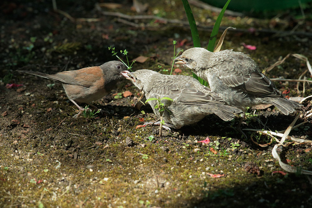 Brown-headed Cowbirds and Dark-eyed Junco