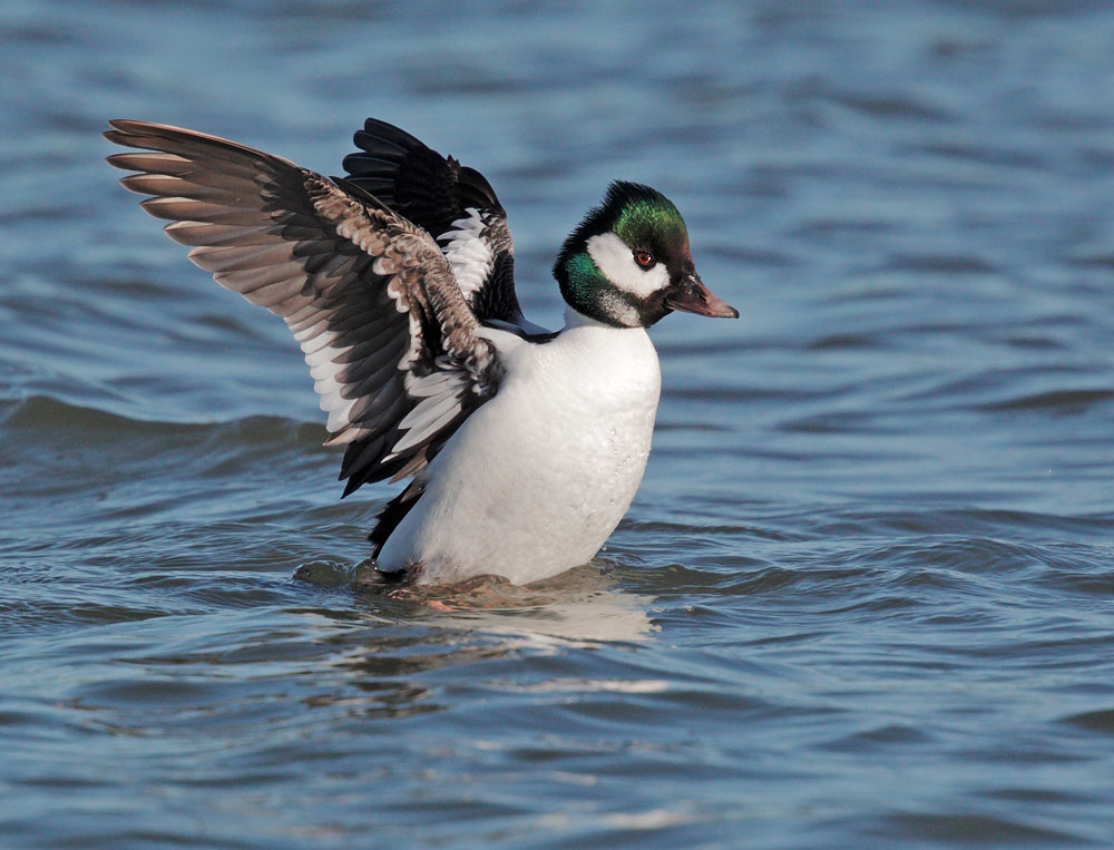 Bufflehead x Common Goldeneye