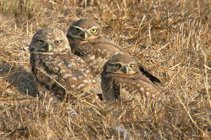 Burrowing Owls, adult and two juveniles, 8/11/05, Shoreline Park, Mountain View