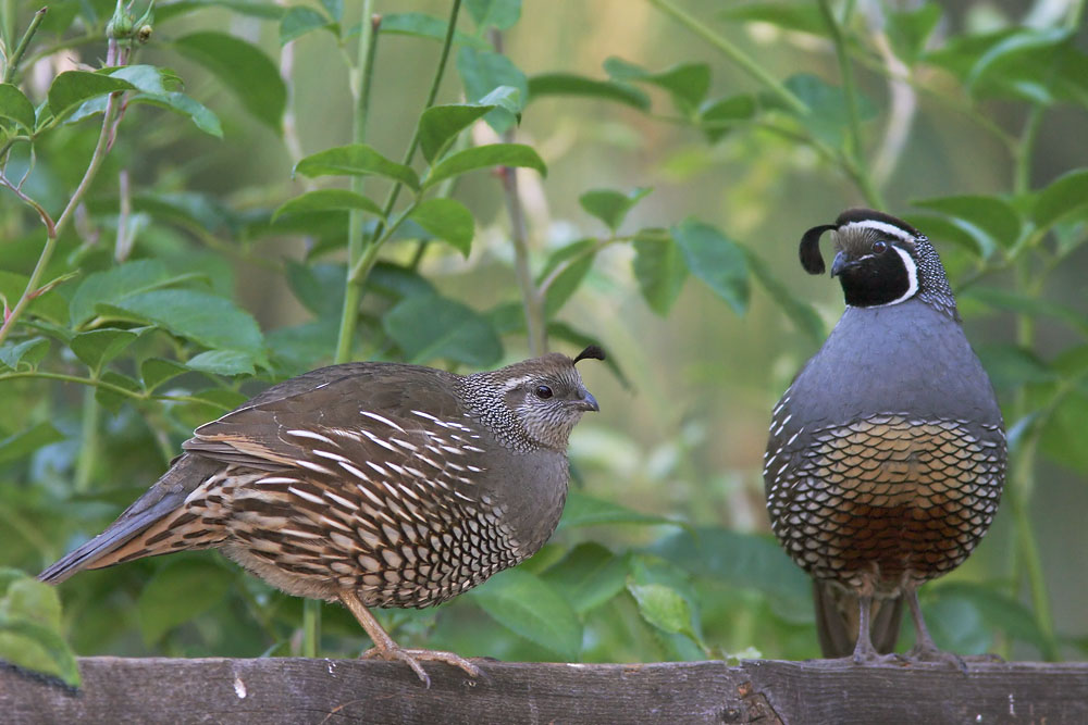 California Quail, adult female and male, 6/20/04, my yard, Stanford campus