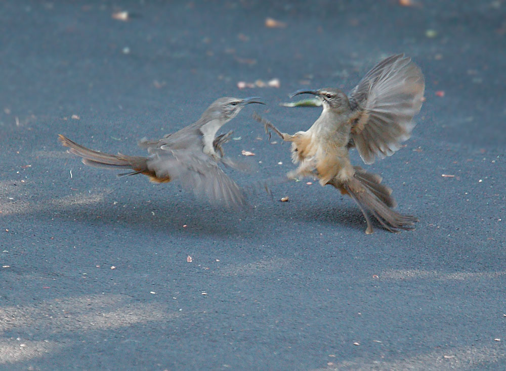 California Thrashers