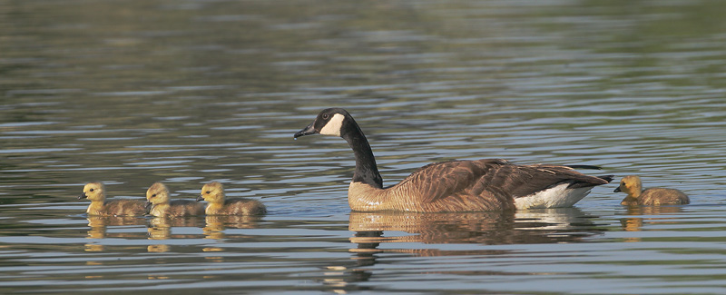Canada Goose with goslings, 5/12/06, Palo Alto Baylands