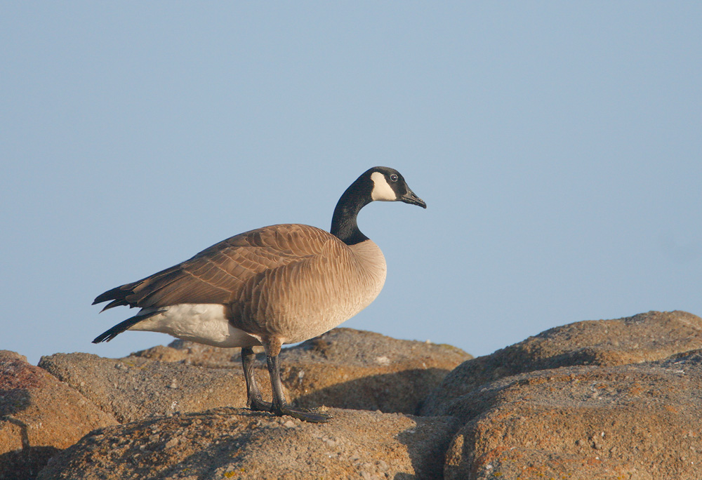 Canada Goose, 3/28/07, Point Pinos, Pacific Grove