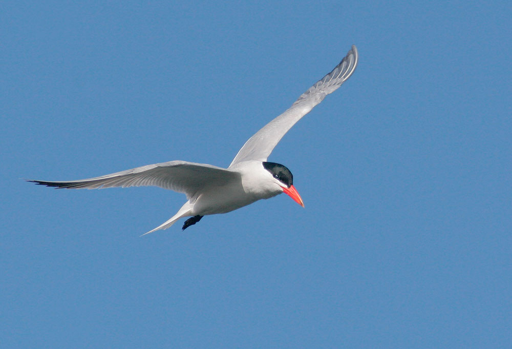 Caspian Tern Diving