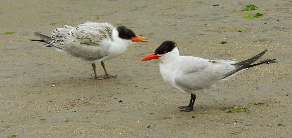 Caspian Terns, adult and juvenile, 8/2/04, Moss Landing Harbor,  Monterey Co