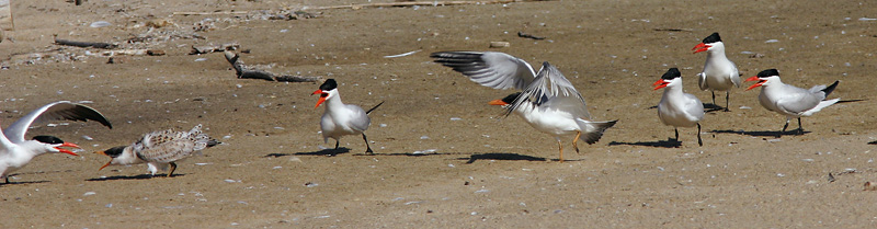 Caspian Terns, adults and juveniles, 8/2/04, Salinas River mouth, Monterey Co