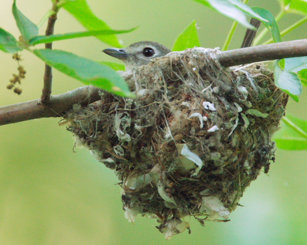 Cassin's Vireo, female on nest, 5/17/09, Stevens Creek Park