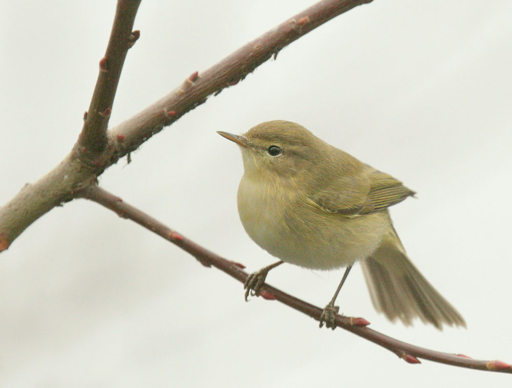 Chiffchaff, 12/31/09, Clissold Park, London, UK