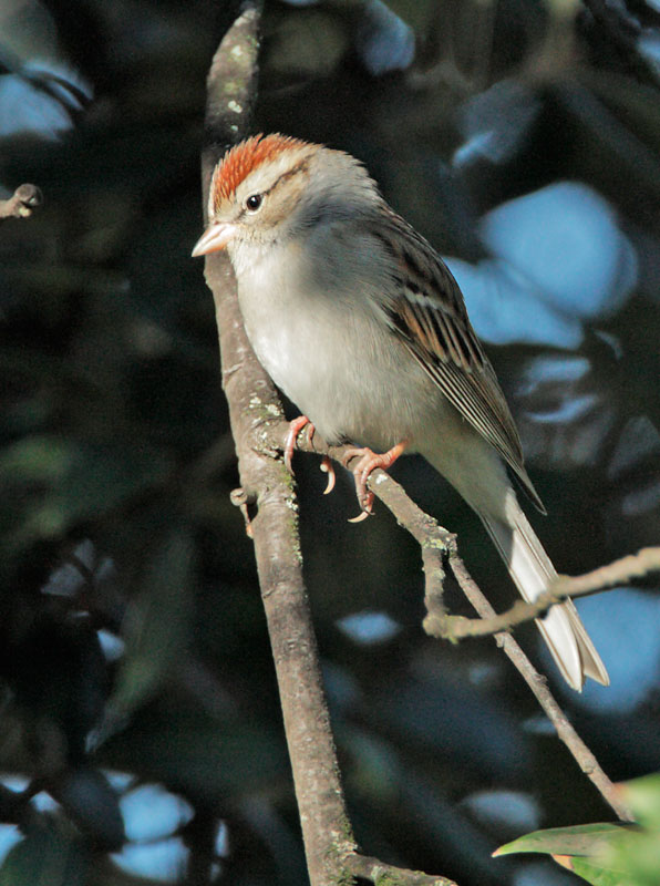 Chipping Sparrow, breeding plumage, 1/29/09, Jeffrey Fontana Park, San Jose