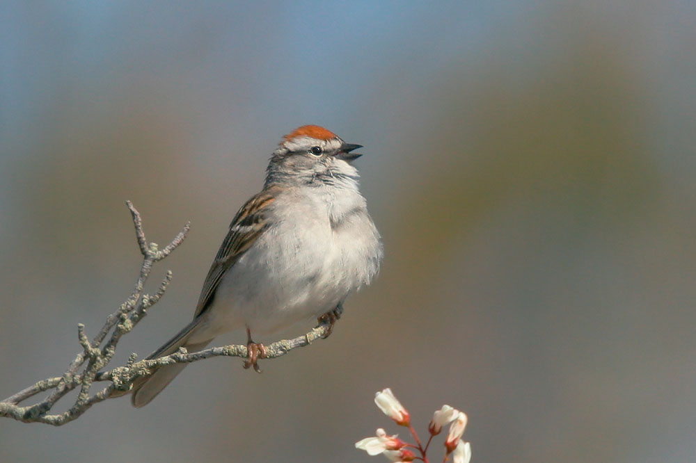 Chipping Sparrow, male, 5/10/05, Beech Forest, Provincetown, MA