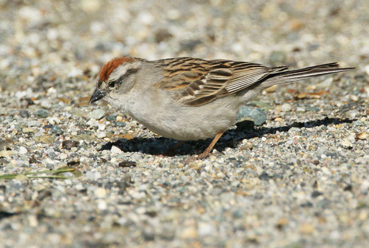 Chipping Sparrow,  6/19/05, Yuba Pass summit, Sierra Co