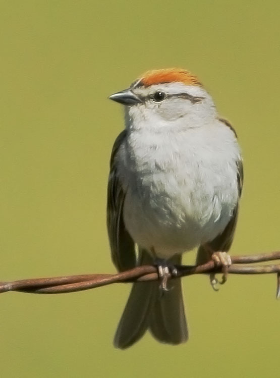 Chipping Sparrow, 6/11/08, Cemetery Road, Sierraville, Sierra Co