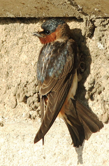Cliff Swallow, adult, 5/29/04, Shoreline Park, Mountain View